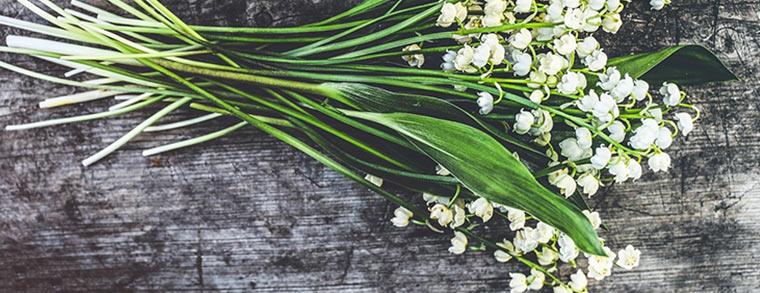 Für Kinder können die weißen Blüten der Maiglöckchen gefährlich sein.