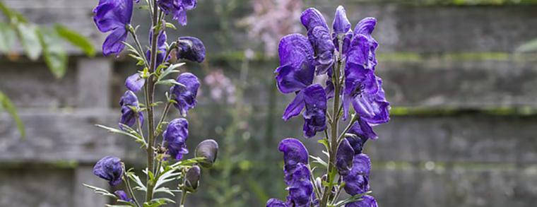 Die Blüten übertragen schon bei Berührung das gift.