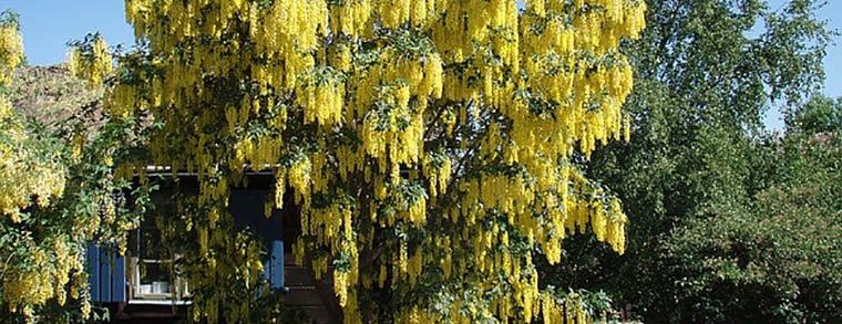 Die Samen des Goldregen sind auch in getrocknetem Zustand giftig