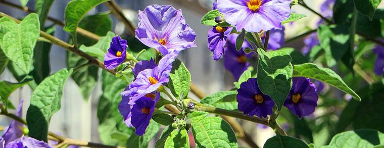 Die lila Blüten sehen zwar schön aus, die Beeren sind allerdings ungenießbar.