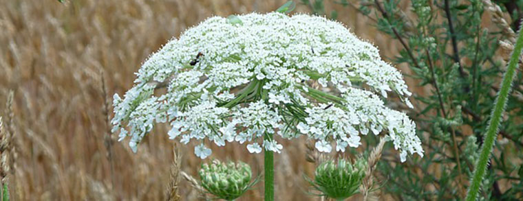 Diese riesige Pflanze sorgt für schmerzhafte Hautirritationen
