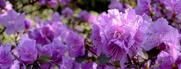 Der Rhododendron gehört zu dein Giftpflanzen für Kinder