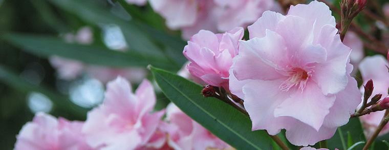 Oleander gehörten nicht in einen Garten in dem Kinder spielen