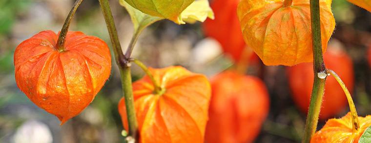 Die Lampionblume ist bei Kindern auch zum basteln sehr beliebt.