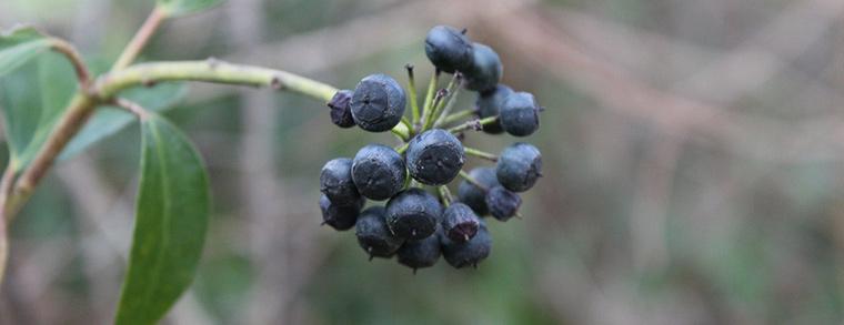 Die dunklen Beeren von altem Efeu sind für Mensch und Tier gefährlich.