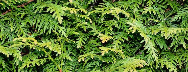 Kiefernartiger Baum, dessen Nadeln ätherische Öle absondern.