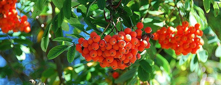 Die Beeren der Eberesche sind nur in gekochtem Zustand essbar.