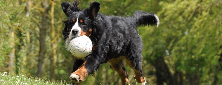 Berner Sennenhunde sind zwar groß, aber sehr gutmütig zu Kindern