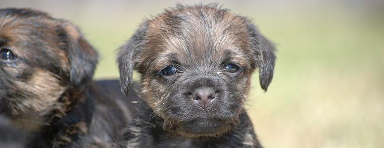 Border Terrier als Welpen