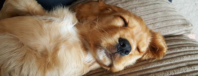 Klein, Charmant und deswegen als Familienhund beliebt