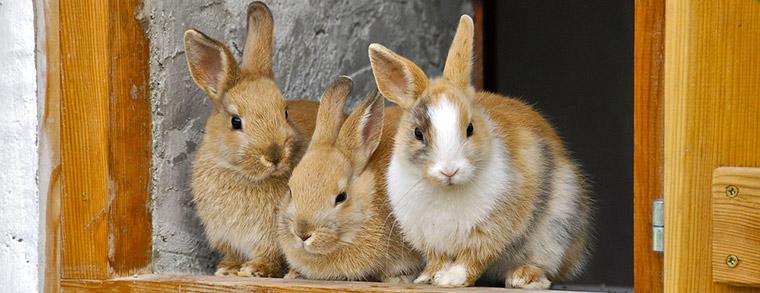 Drei Kaninchen kuscheln miteinander