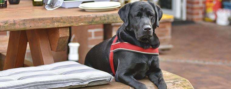 Labradore sind wegen ihrer Gutmütigkeit sehr beliebte Familienhunde