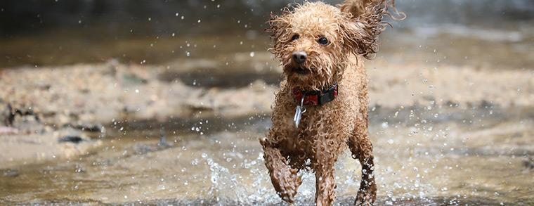 Längst kein Modehund mehr, sondern ein geeigneter Hund für Familien